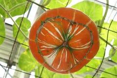 Calabaza Foto de archivo libre de regalías