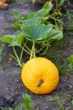 Calabaza amarilla grande Foto de archivo libre de regalías