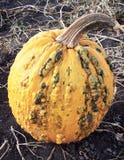 Calabaza anaranjada del otoño con las espinillas y los topetones Fotos de archivo