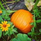Calabaza anaranjada grande en jardín del otoño Foto de archivo libre de regalías