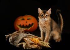 Calabaza asustadiza de Halloween y gatito somalí fotografía de archivo