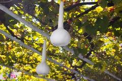 Calabaza blanca Fotos de archivo