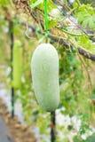 Calabaza blanca o calabaza del invierno en el jardín imagen de archivo