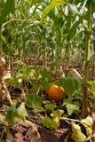 Calabaza creciente en maíz Imagen de archivo libre de regalías