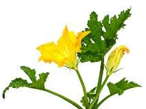 Calabaza de la flor y de la hoja Foto de archivo libre de regalías