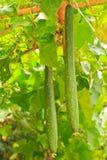 Calabaza de la lufa Imagenes de archivo