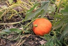 Calabaza en el jardín Foto de archivo libre de regalías