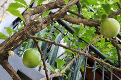Calabaza en el jardín en Tailandia fotos de archivo libres de regalías