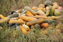 Calabaza larga en la hierba seca en otoño Imagenes de archivo