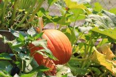 Calabaza orgánica que crece en la vid Imagen de archivo