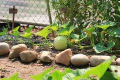 Calabaza orgánica que crece en la vid Foto de archivo libre de regalías