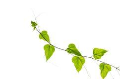 Calabaza verde de la hiedra aislada Foto de archivo libre de regalías