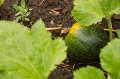 Calabaza verde que crece en el jardín Fotografía de archivo libre de regalías
