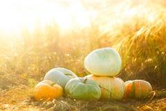 Calabazas al aire libre Calabaza en hierba seca del amarillo del otoño sobre puesta del sol o salida del sol sunbeam Imagen de archivo