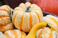 Calabazas amarillo-naranja rayadas Fondo del día de la acción de gracias de Halloween De las verduras todavía de la cosecha vida  Imagen de archivo