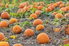 Calabazas anaranjadas brillantes listas para la cosecha en campo de granja Fotos de archivo