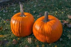 Calabazas anaranjadas en el sol de la hierba verde brillante Acción de gracias o Halloween de la cosecha del otoño Primer maduro  Foto de archivo libre de regalías