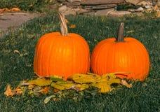Calabazas anaranjadas en el sol de la hierba verde brillante Acción de gracias o Halloween de la cosecha del otoño Primer maduro  Imagen de archivo