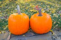 Calabazas anaranjadas en el sol de la hierba verde brillante Acción de gracias o Halloween de la cosecha del otoño Primer maduro  Imágenes de archivo libres de regalías