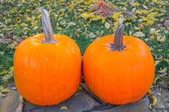 Calabazas anaranjadas en el sol de la hierba verde brillante Acción de gracias o Halloween de la cosecha del otoño Primer maduro  Foto de archivo