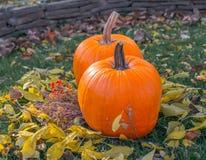 Calabazas anaranjadas en el sol de la hierba verde brillante Acción de gracias o Halloween de la cosecha del otoño Primer maduro  Fotografía de archivo libre de regalías