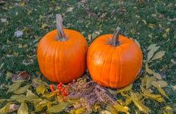 Calabazas anaranjadas en el sol de la hierba verde brillante Acción de gracias o Halloween de la cosecha del otoño Primer maduro  Imagen de archivo libre de regalías
