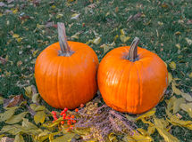 Calabazas anaranjadas en el sol de la hierba verde brillante Acción de gracias o Halloween de la cosecha del otoño Primer maduro  Fotos de archivo libres de regalías