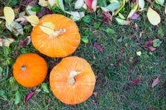 Calabazas anaranjadas que crecen en el huerto fotografía de archivo