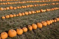Calabazas de otoño maduras en la granja Imagen de archivo libre de regalías