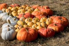 Calabazas de otoño maduras en la granja Fotos de archivo