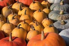 Calabazas de otoño maduras en la granja Imágenes de archivo libres de regalías