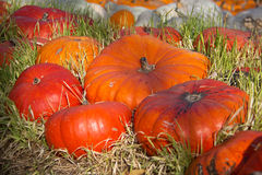 Calabazas en la hierba Imagen de archivo libre de regalías