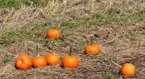 Calabazas en la hierba en el remiendo de la calabaza foto de archivo