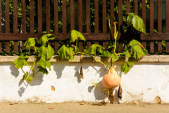 Calabazas listas para la cosecha que crece a través de la cerca Foto de archivo