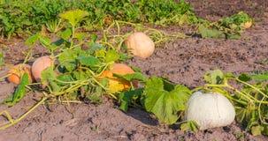 Calabazas Varicolored que crecen en el campo por mañana foto de archivo libre de regalías