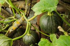 Calabazas verdes que crecen en el jardín Fotos de archivo libres de regalías