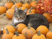 Calabazas y un gato Fotografía de archivo