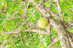 Calabbash på träd Royaltyfri Foto