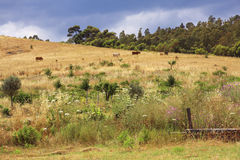 Calabria landscape. With cows in summer, stormy sky Stock Photos