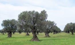 Calabrian olive tree plantation Royalty Free Stock Photos