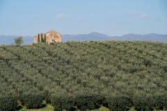 Calabrian olive tree plantation stock image