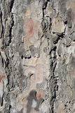 Calabrian or Turkish Pine Bark Detail Stock Images