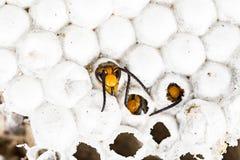 d2ad6cbaa5 Calabrone asiatico del bambino vivo nella macro alveolata del nido nel  fondo bianco immagini stock