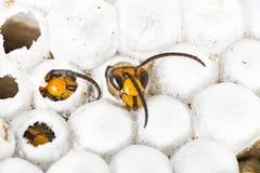 56b7e72813 Calabrone asiatico del bambino vivo nella macro alveolata del nido nel  fondo bianco immagine stock