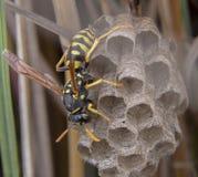 Calabrone della vespa di bischoffi di galicus di polistes che prende cura del nido fotografie stock