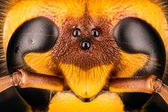 Calabrone europeo, calabrone, crabro della vespa - FEMMINA immagine stock libera da diritti