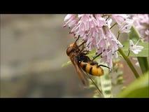 Calabrone Hoverfly che raccoglie polline da un fiore del giardino archivi video