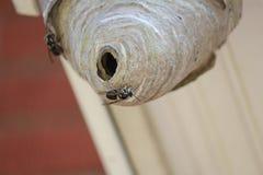Calabroni affrontati calvi fuori del nido fotografia stock libera da diritti