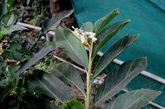 Calacarata di Alpinia, galanga di Java Fotografia Stock