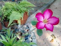 Calachuci o primavera de los bonsais Imágenes de archivo libres de regalías